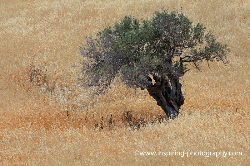 Olive-tree-and-golden-fields-Milos-island-Greece-©David-Hay